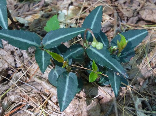 14. Striped Wintergreen