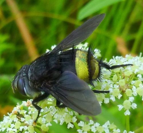 2. Belvosia borealis Tachinid Fly