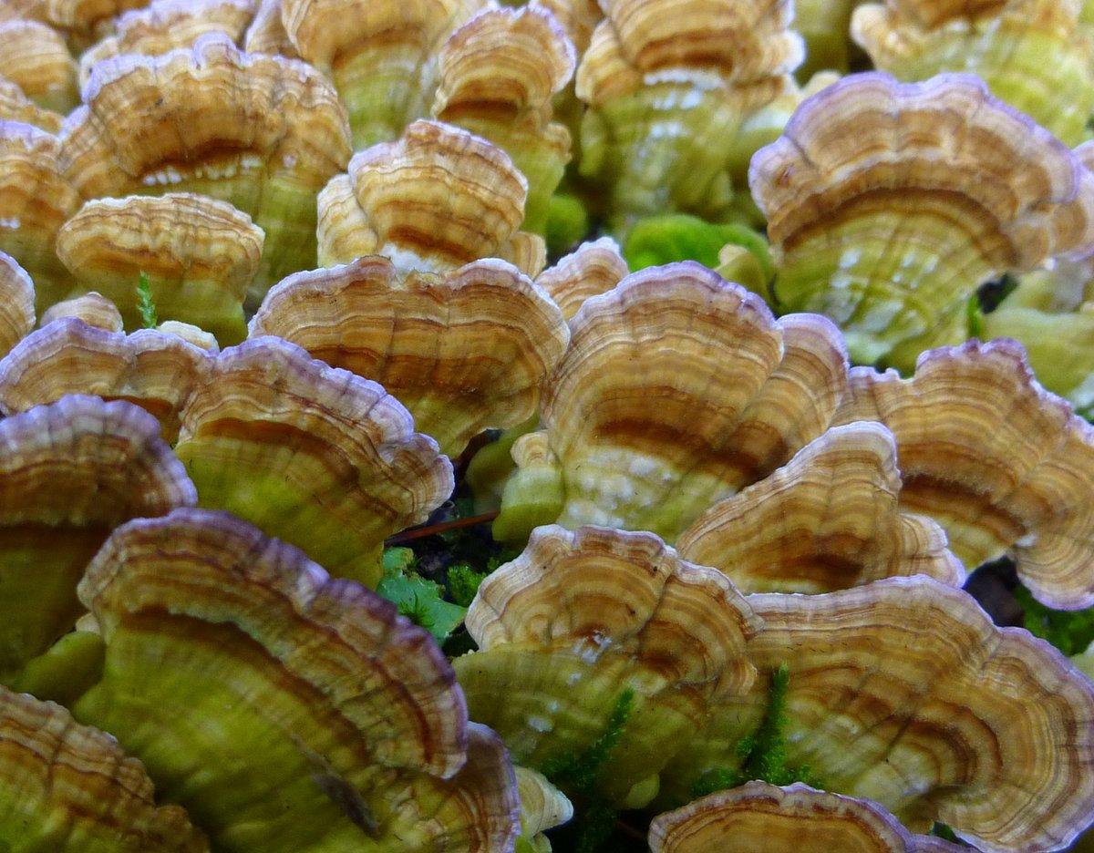 2. Purple Edged Bracket Fungi
