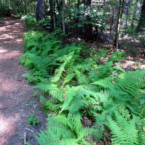 2. RSP Marginal Wood Fern