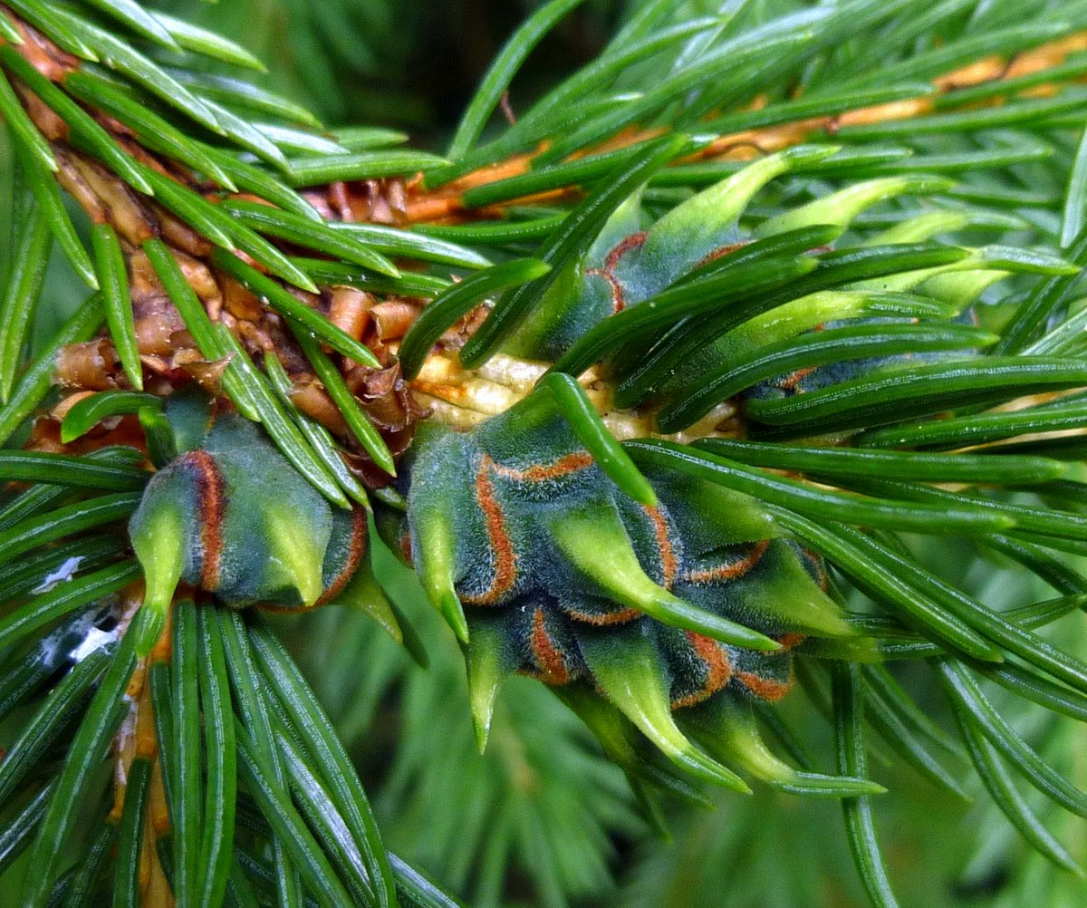 4. Eastern Spruce Adelgid Gall on Blue Spruce