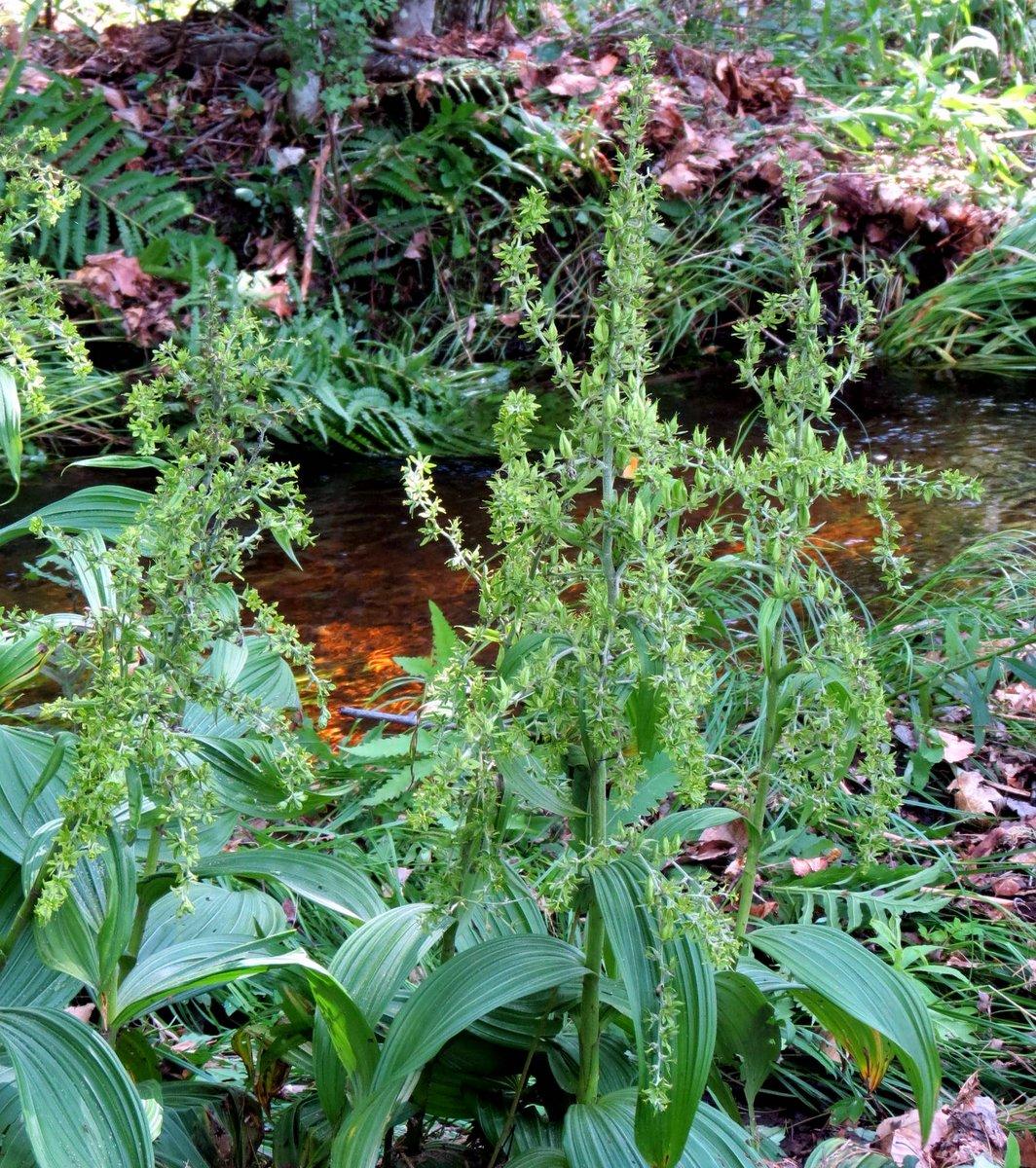 4. False Hellebore Flowering