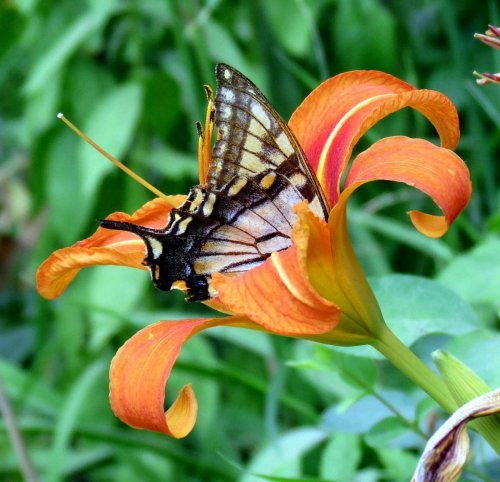 4. Swallowtail in Daylily