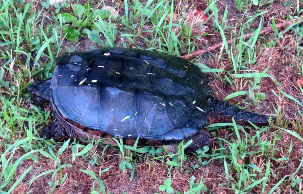 5. Large Snapping Turtle