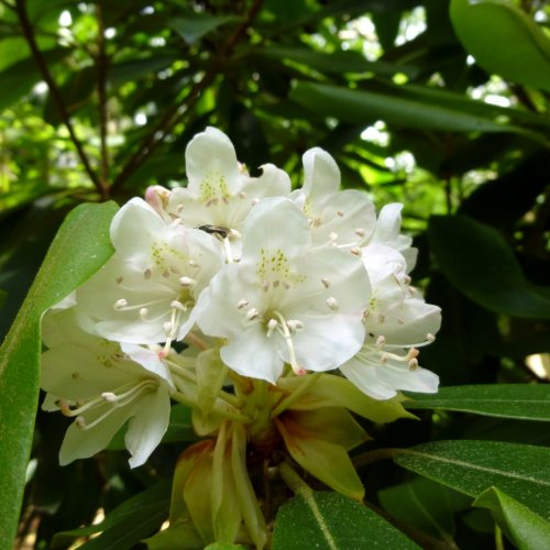 5. Native Rhododendron Maxima