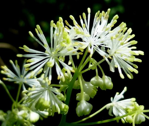 6. Tall Meadow Rue