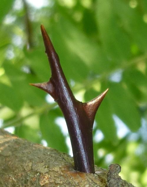 7. Honey Locust Thorn