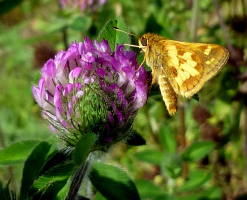 7. Peck's Skipper Butterfly aka Polites peckius