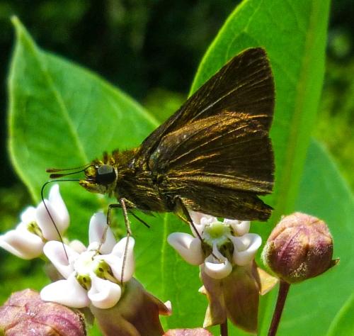 8. Butterfly on Milkweed