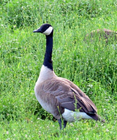 8. Canada Goose