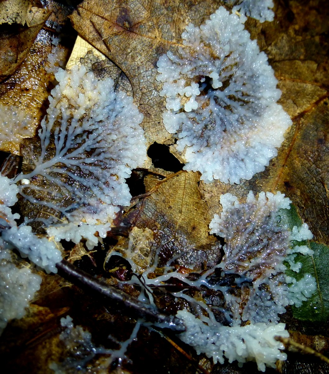 8. Unknown White Slime Mold