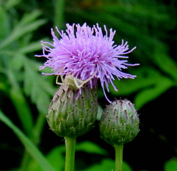 Canada Thistle | New Hampshire Garden Solutions