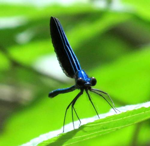 9. Deep Blue Dragonfly