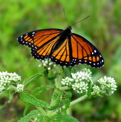 9. Monarch Butterfly