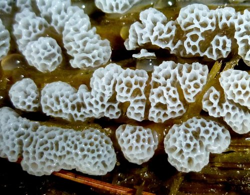9. White Honeycomb Slime Mold