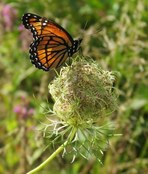 1. Viceroy Butterfly