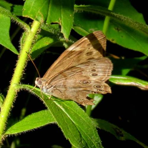 10. Brown Butterfly