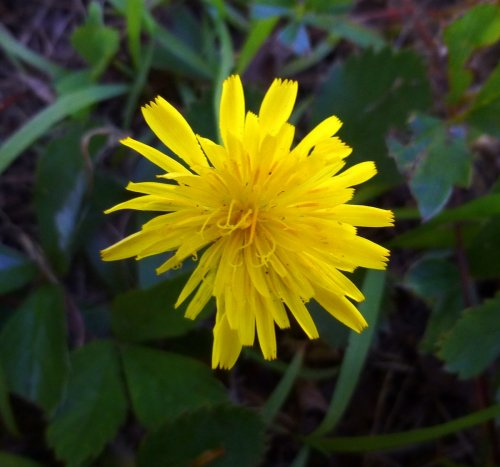 10. Dwarf Dandelion aka Krigia virginica