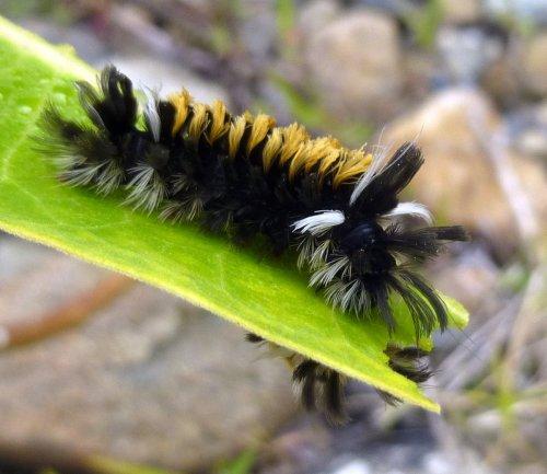 11. Milkweed Tussock Moth Caterpillar