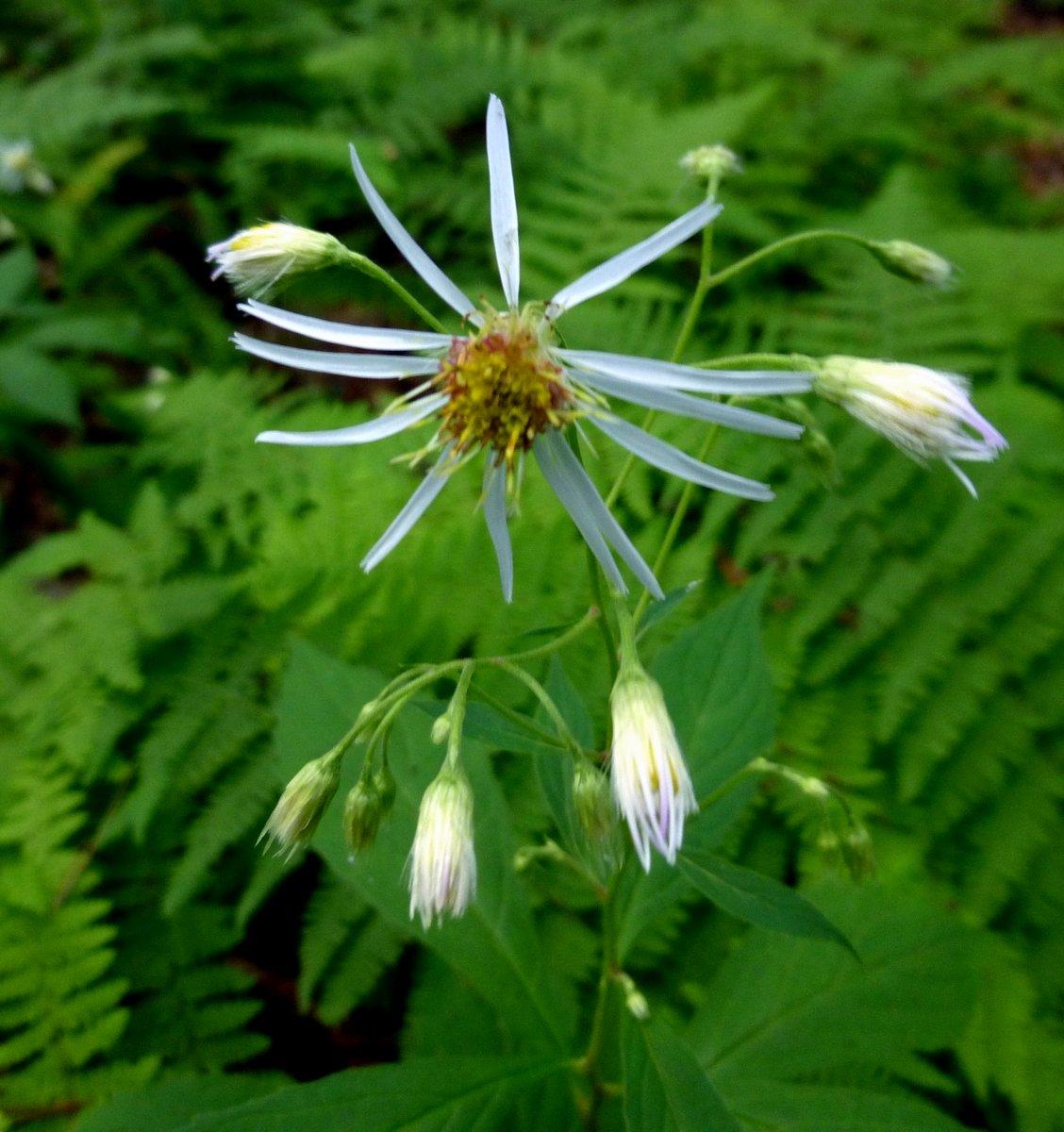 11. Whorled Wood Aster aka Oclemena acuminata 2