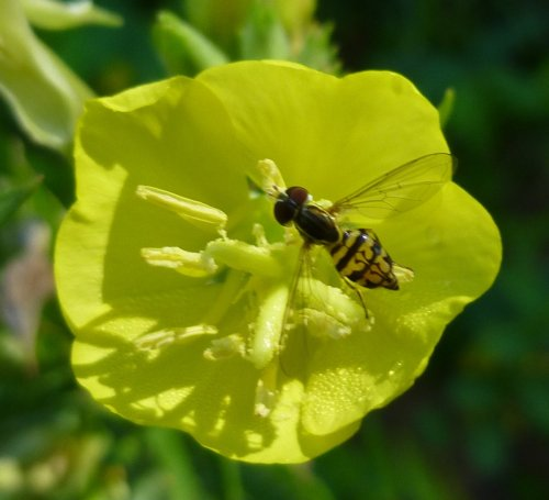 12. Hoverfly on Evening Primrose