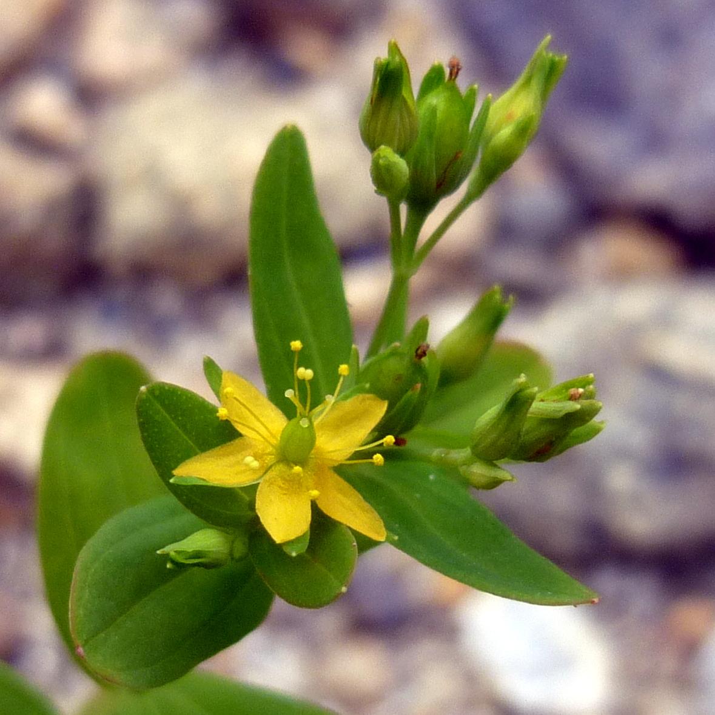 13. Dwarf St. Johnswort aka Hypericum mutilum
