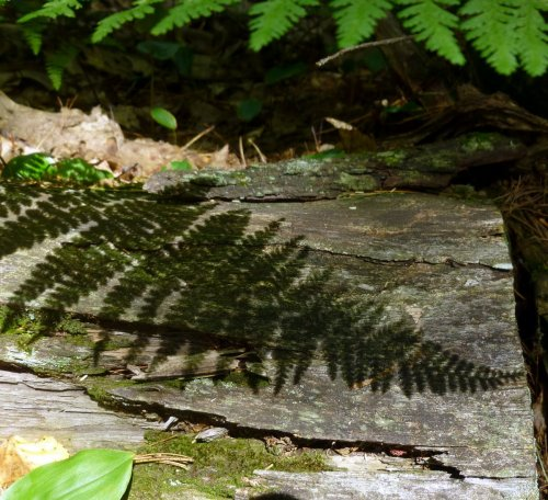 13. Fern Shadow