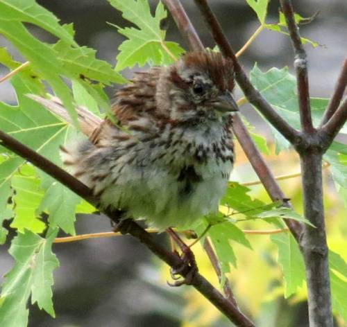 13. Puffed Up Sparrow