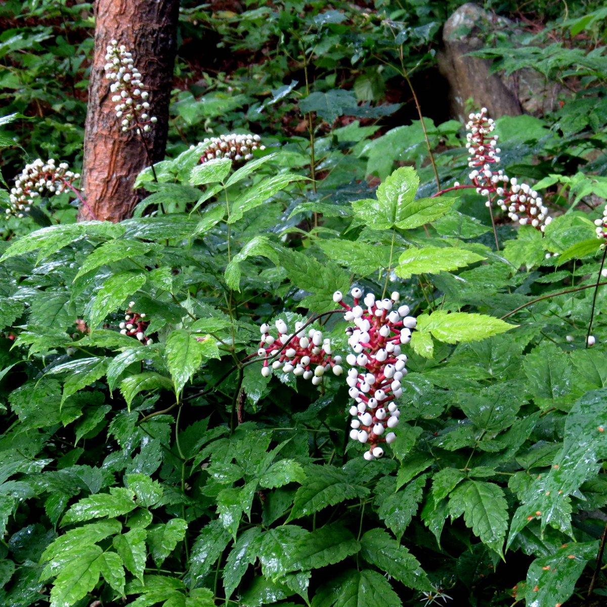 13. White Baneberry Plants