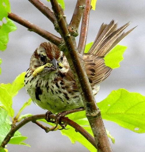 14. Sparrow
