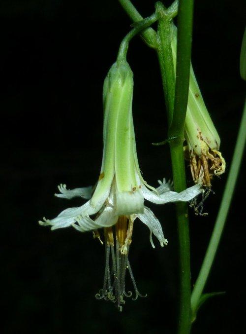 14. Tall Rattlesnake Root aka Prenanthes trifoliata