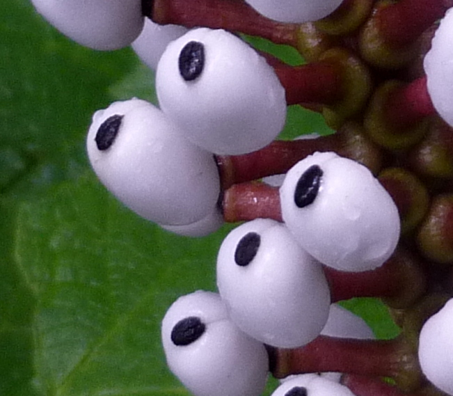14. White Baneberry Berries