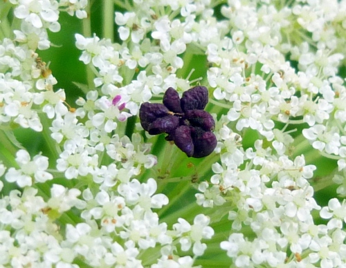 15. Queen Anne's Lace Purple Flower