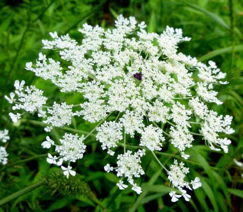 16. Queen Anne's Lace Purple Flower