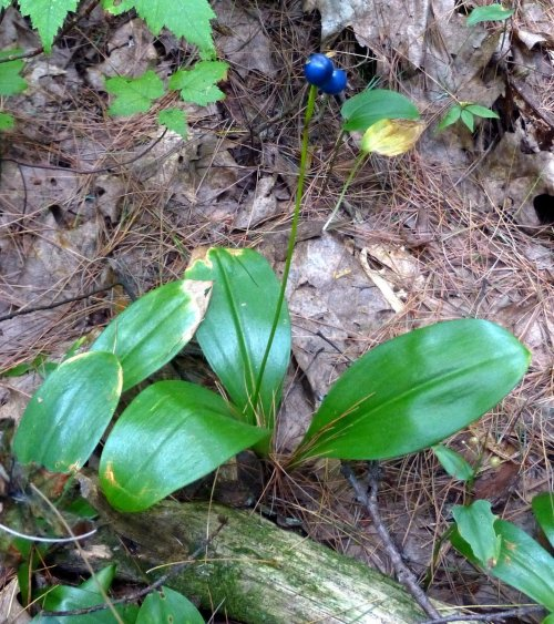 2. Blue Bead Lily Fruit