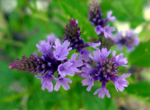 2. Blue Vervain
