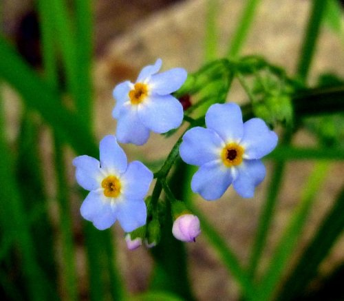 2. Forget Me Nots