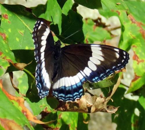 2. White Admiral Butterfly aka Limenitis arthemis