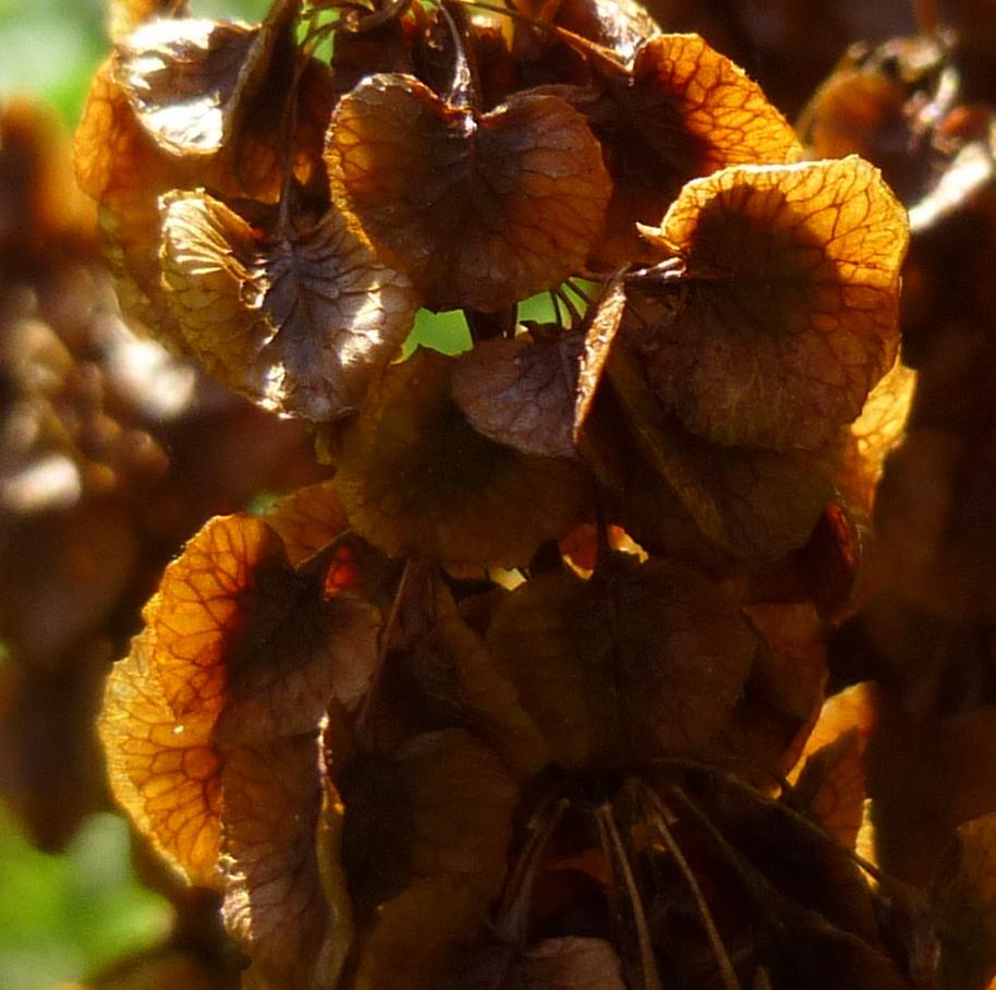 3. Curly Dock Seeds aka Rumex crispus
