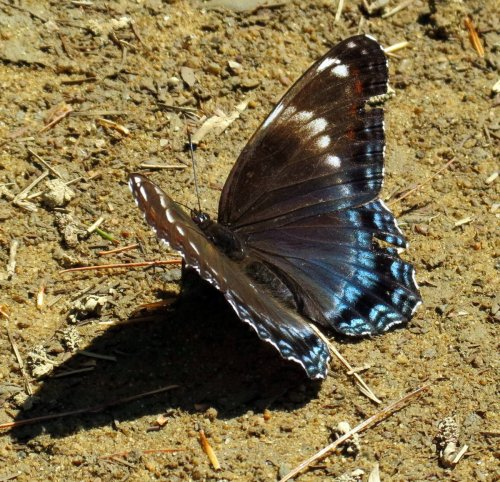 3. Red Spotted Purple Butterfly aka Limenitis arthemis astyanax