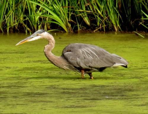 4. Great Blue Heron
