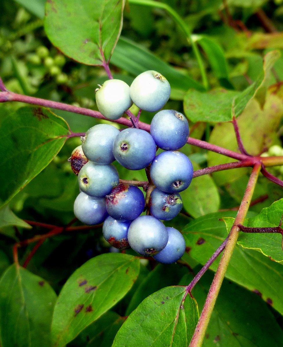 4. Silky Dogwood Berries aka Cornus amomum