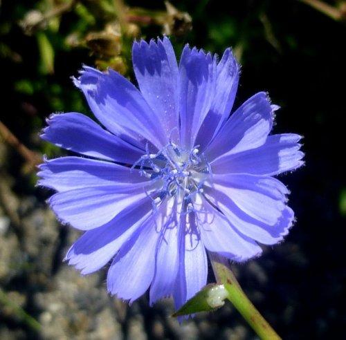 5. Chicory