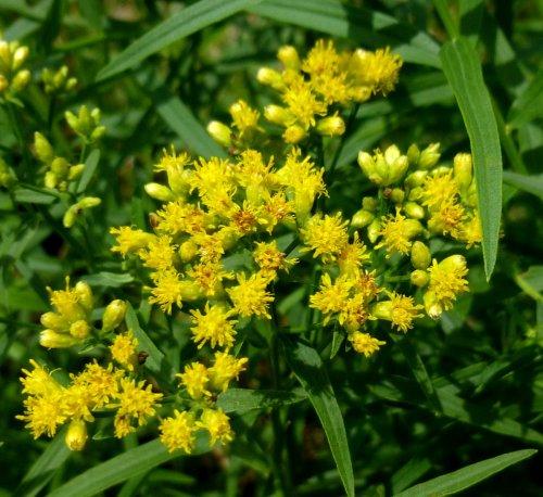 5. Slender Fragrant Goldenrod aka Euthamia tenuifolia