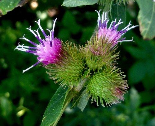 6. Burdock Flowers