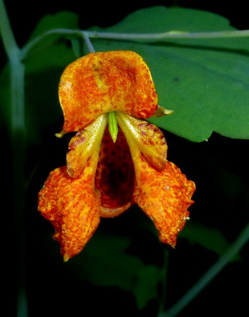 6. Spotted jewel Weed aka Impatiens capensis