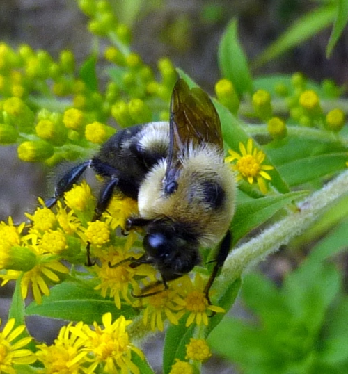 7. Bumblebee on Goldenrod