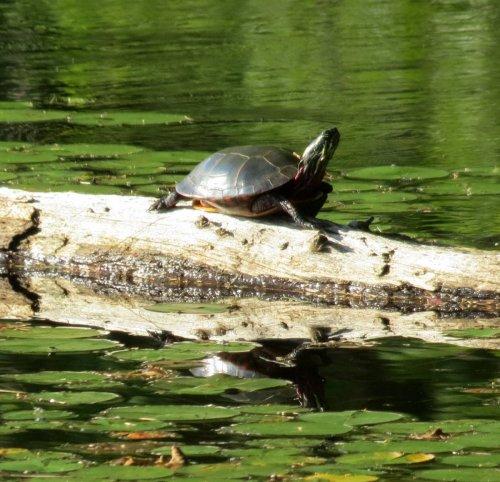 7. Painted Turtle