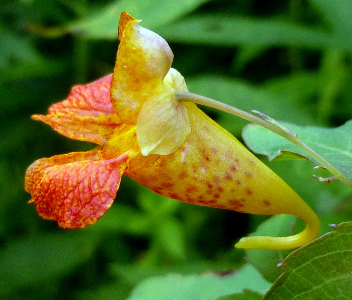 7. Spotted jewel Weed