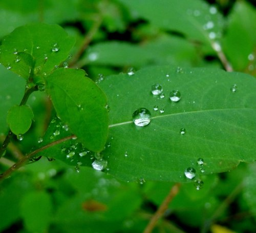 8. Raindrops on Jewelweed